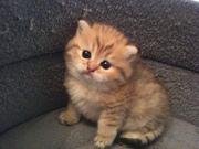 Котята мейн кун,  недорого