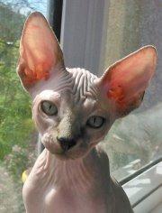 Котята канадского сфинкса.