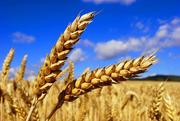 ТОО ДОН*ТАН реализует: Пшеницу